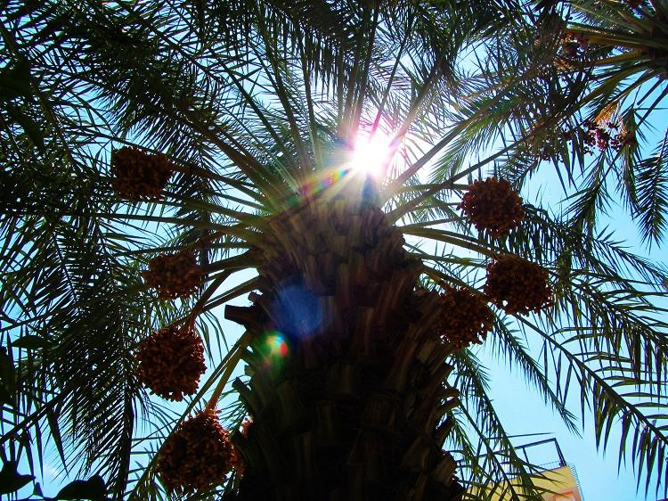 Israel - Jericho - Date Tree