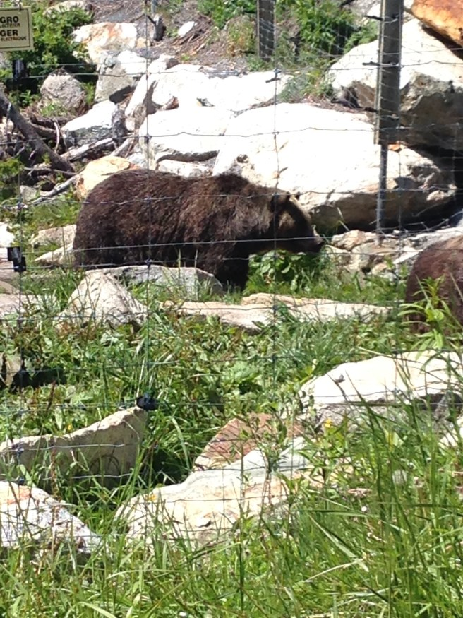 Grizzly Bear Exhibit, Grouse Mountain