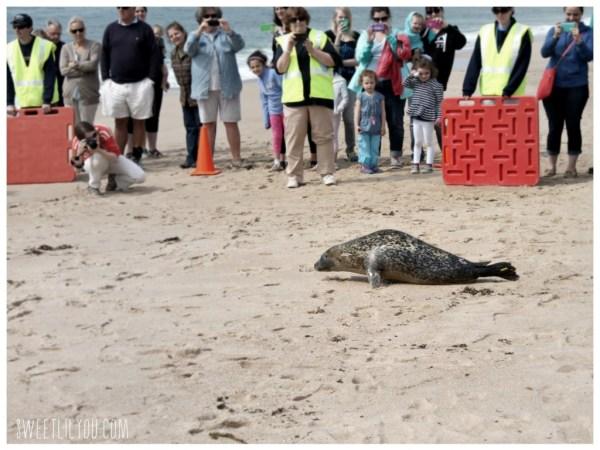 Harbor Seal Luna on her way to the ocean!