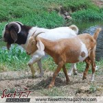 goats in Piparo in sweet T&T for Sweet TnT Magazine, Culturama Publishing Company, for news in Trinidad, in Port of Spain, Trinidad and Tobago, with positive how to photography.