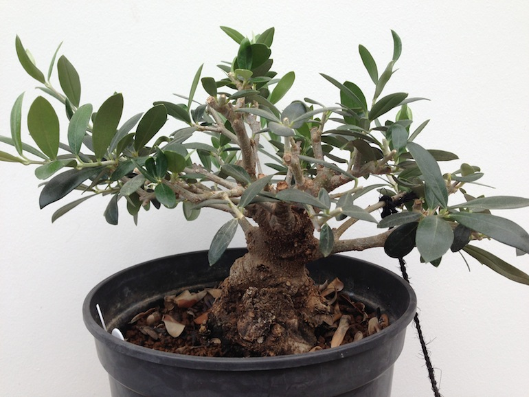 Olive as a bonsai swindon district bonsai for How to make an olive tree into a bonsai