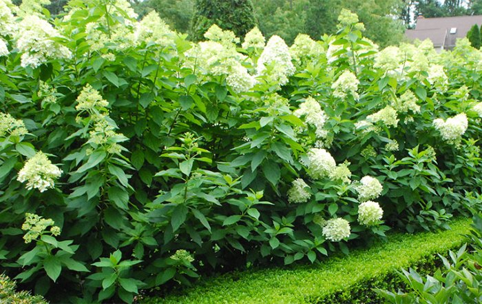 limelight-hydrangea-hedge