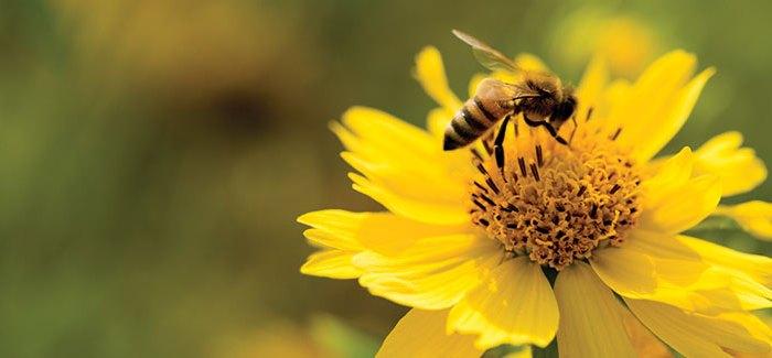 bee-pollinator