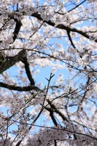 Magnifique allée de cerisiers