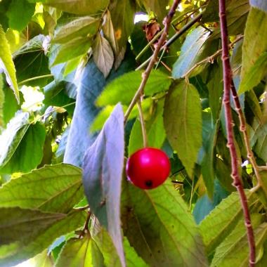 Mansanitas Fruit on Tree