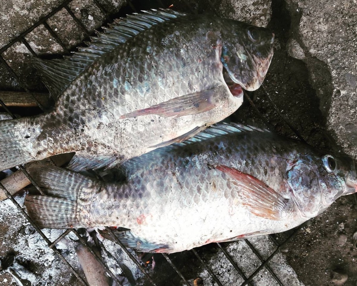 Tilapia in the Philippines
