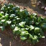 小松菜と大根 (1)