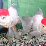 飼い始めた金魚がすぐに病気になったり死んでしまう原因と長く飼う方法