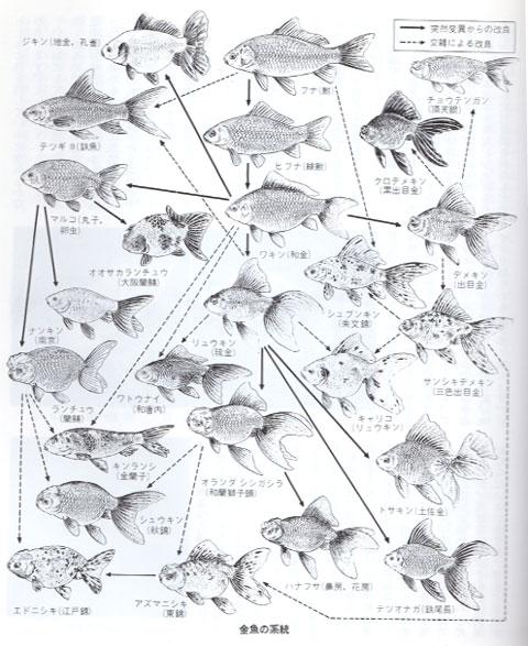 金魚の種類の系統図