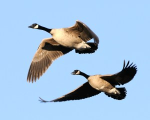 Canadian Geese in a V formation