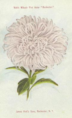 The Rochester Aster
