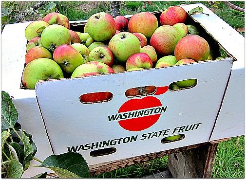 washington state apples Bramleys
