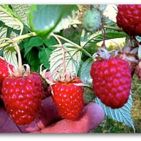 Pruning Raspberries: Gardening's 'Who's on First?'