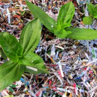 Gardening Tip: Shredded Paper as Garden Mulch