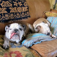 Bulldog Wisdom: The World According to Boz