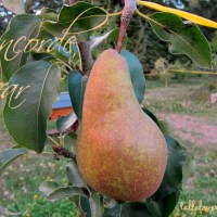 Perfect Pears for the Home Orchard