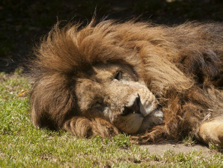 ライオン 戦闘力無し