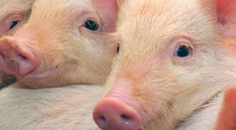 swine-slide