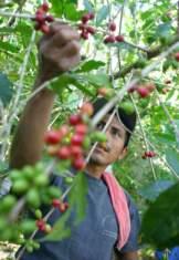 raccolta del caffè