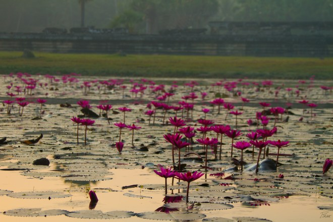 AngkorWatWaterLillies