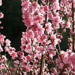 250px-Prunus_persica(花桃)4035837