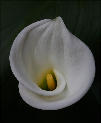 Young Calla Lily