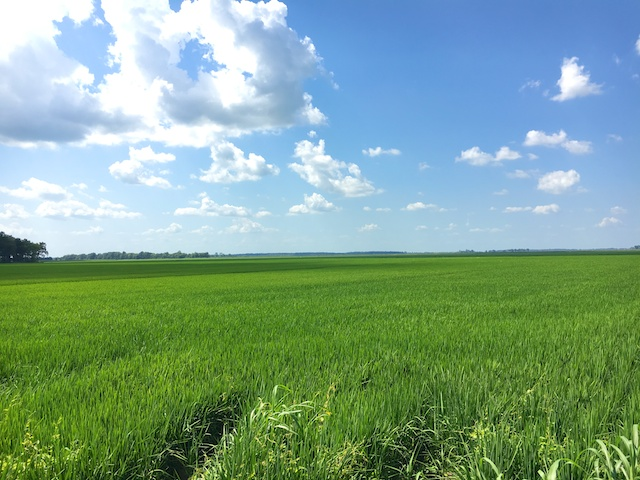 Rice fields in Greenville, MS (courtesy of #sponsored Uncle Ben's Rice Tour)
