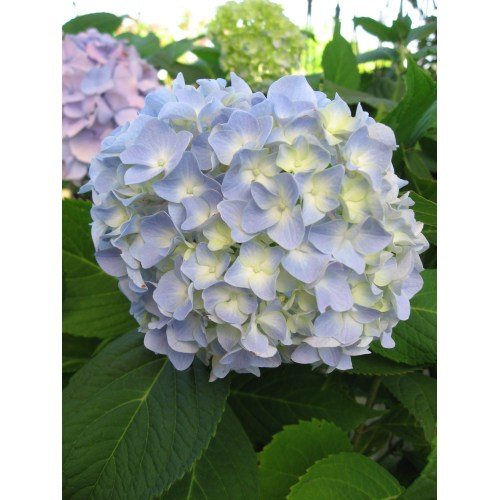 Medium Crop Of Nikko Blue Hydrangea