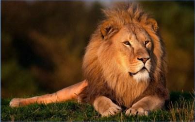 Lions HD Wallpaper