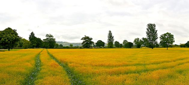 Bath Canola Field