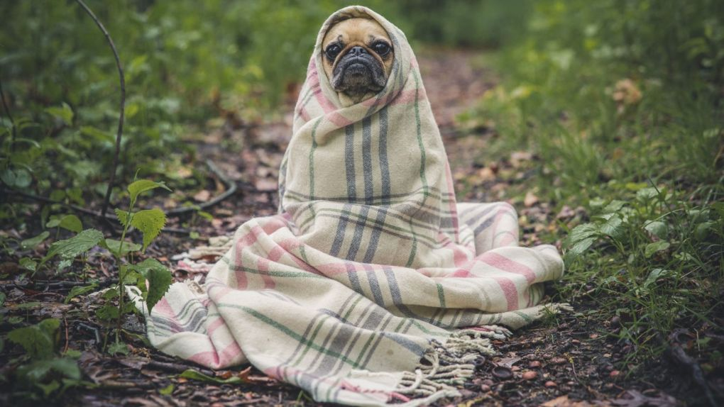 pug dog in a blanket