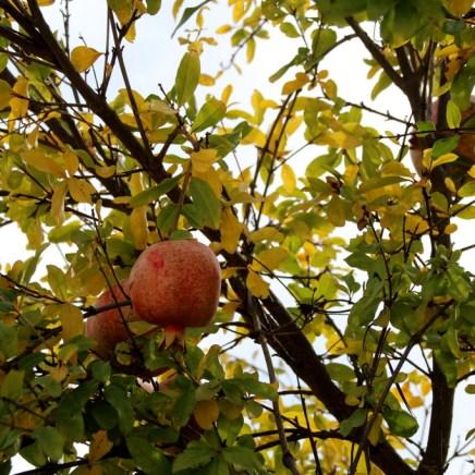 Granatapfel auf Zypern