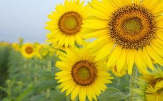 sunflower_39