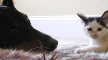 ドーベルマンと子猫の仲良し動画!でも少しドキドキします・・・