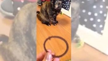 ワンちゃんも真っ青!-飼い主さんの投げたヘアゴムで遊ぶネコさん