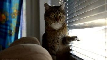 ガシャガシャ!ブラインドを開けるのにやみつきになってしまったネコさん