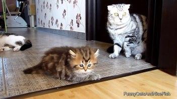 カメラに向かって威嚇するネコ!そして大人のネコにぶつかって怒られる…