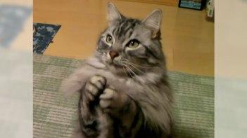 おやつが欲しいの・・・長毛の凜々しいネコさんによるカワイイお・ね・が・い