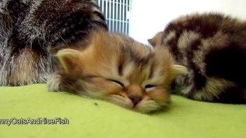 ネムネム・・・とっても眠い子ネコさん他の子ネコに何をされてもグッスリお寝んね中♪