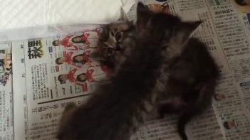 【子ネコ比べてみました】2ヶ月前と現在と子ネコの兄弟のじゃれあいっこ!