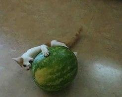 「ちょ、そのままじゃたべれないよっ(笑)」スイカをまるごとたべようとする子ネコさんにつっこまずにはいられない!