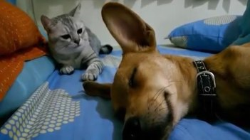 理不尽すぎ(笑)スヤスヤ寝ていたワンちゃんに突然のネコパンチ!・・・何がいけなかったのか・・・