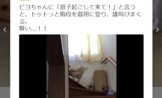 もっこり 8 21WILD BUNCHさんのツイート   ピヨちゃんに「息子起こして来て!」と言うと、トットっと階段を器用に登り、雄叫びまくる。 賢い…!! https   t.co eXBEhbv4Ey