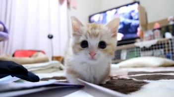 コレさえあれば何もいらない!?マンチカンの子猫さんと箱だけでとびきりキュートな動画が完成!