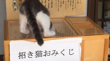 招き猫おみくじにネコさんが招かれてとってもかわいいと話題に!