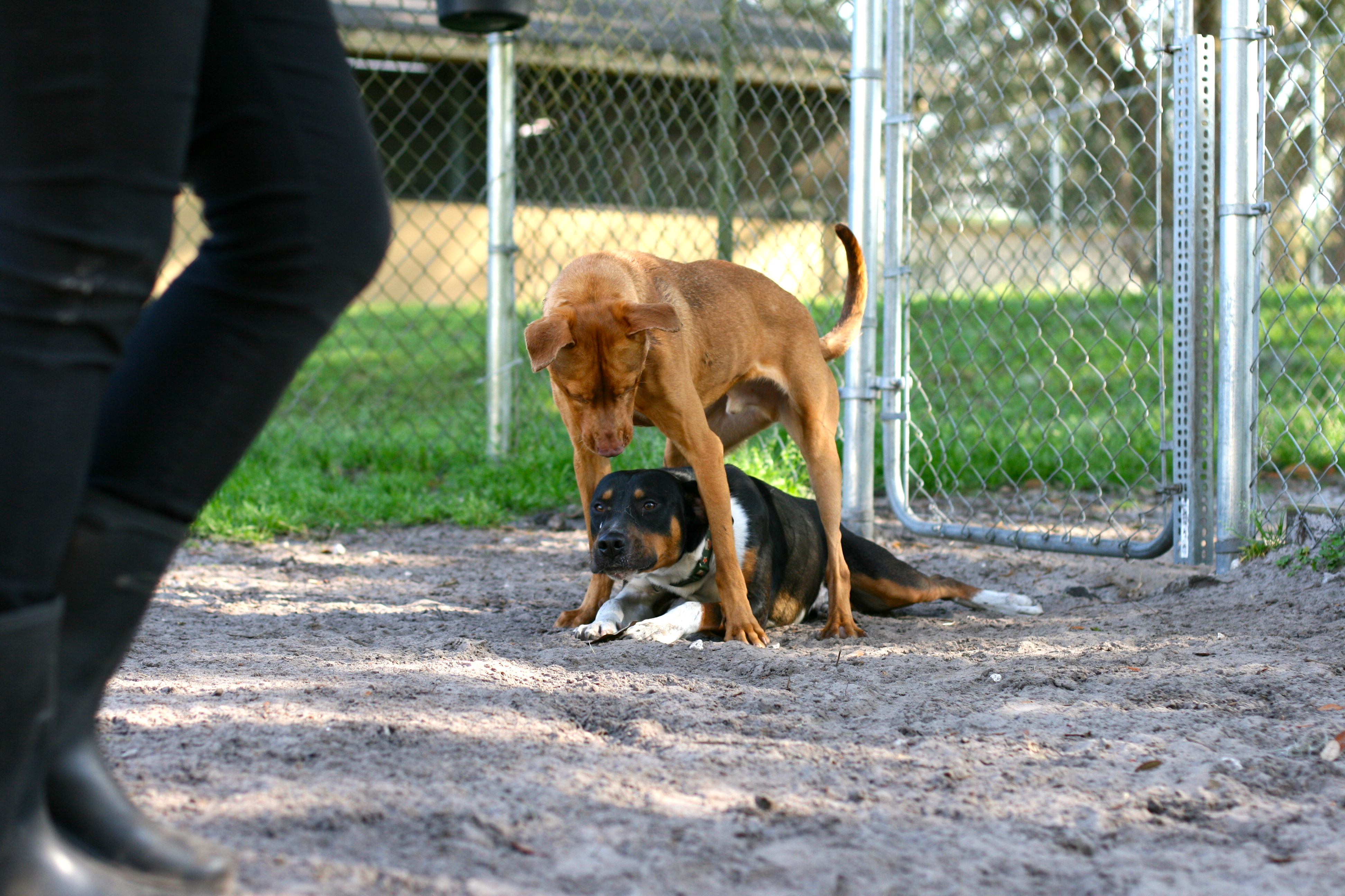 Staggering One Dog At A And How Do We Figure Out Who Likes Play Well We Test M Everyone Gets A Chance To See How Y Like This Lets Us Knowif Dogs Temporary Permanent Love Saving World bark post How Do Dogs See