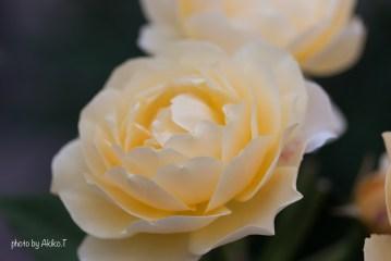 akiko_rose-1-6