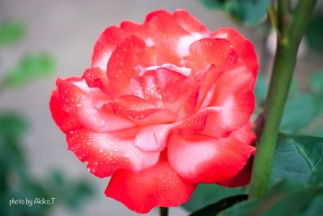 akiko_rose-1