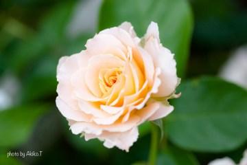 akiko_rose-18