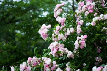 akiko_rose-27